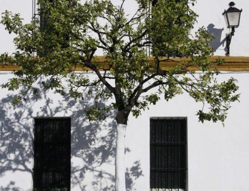 Encalado de árboles: La Fundación Savia propone el encalado de naranjos en Sevilla